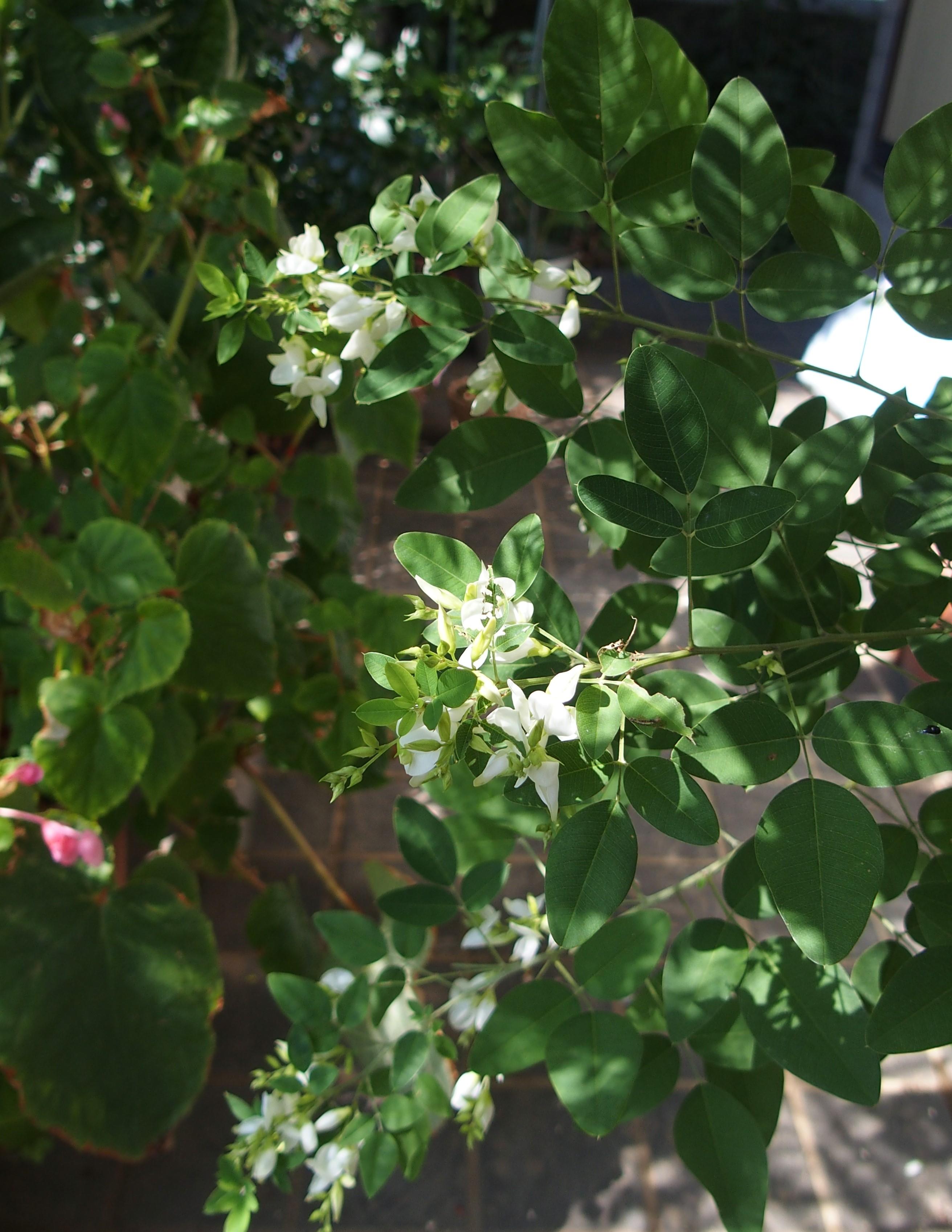 庭日記3 白花萩との再会