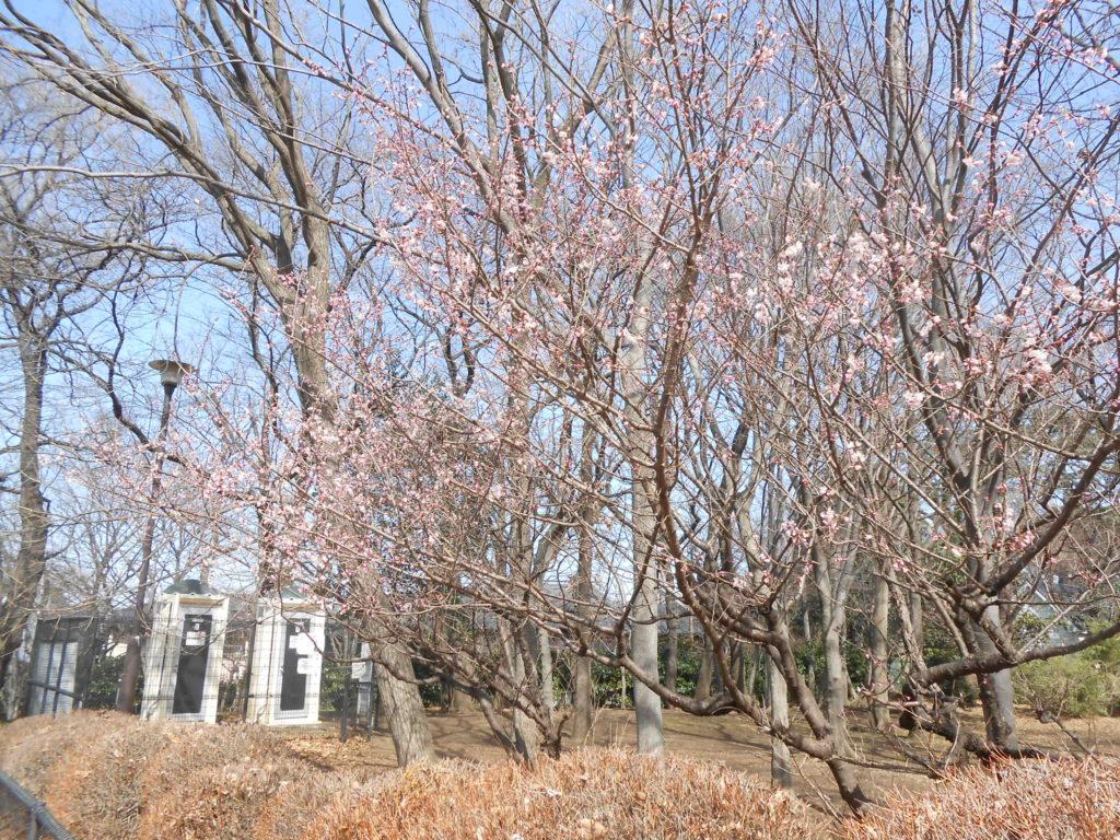 シナミザクラ 支那実桜