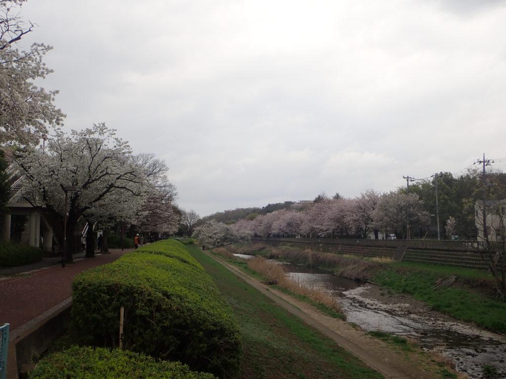 野川のオオシマザクラ