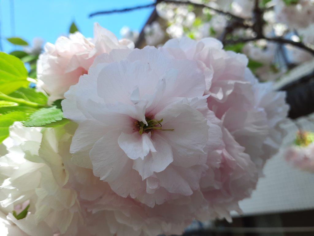 桜 一葉(いちよう)