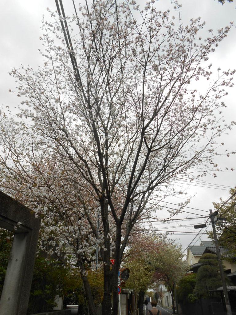 成城の桜 ヤマザクラ ?